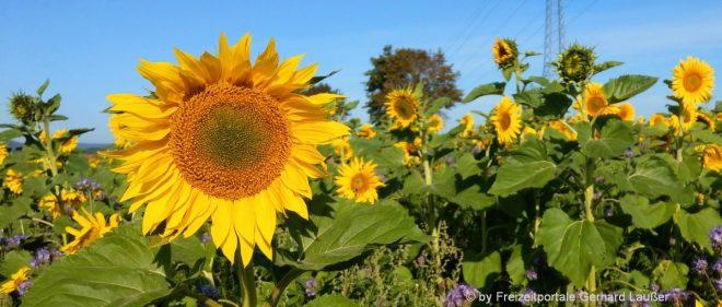 vorlagen-bilder-natur-fotos-sonnenblumen-mustertexte